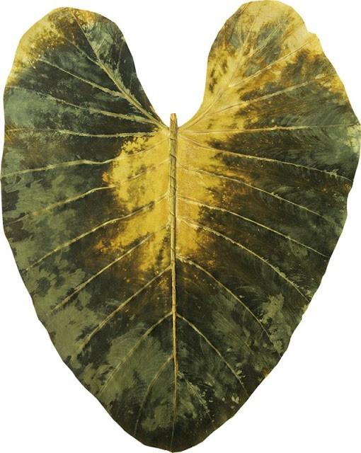 Matérias primas do reaproveitamento- folhas de bananeiras