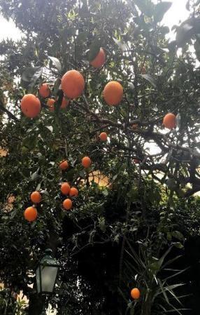 Limões sicilianos na Costa Amalfitana
